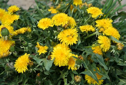 Wiosenne rośliny - mniszek lekarski