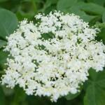 Syrop z kwiatów czarnego bzu  – przepis
